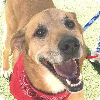 Shepherd (Unknown Type) Mix Dog for adoption in Denver, Colorado - Koda