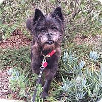 Schnauzer (Standard)/Poodle (Miniature) Mix Puppy for adoption in santa monica, California - Winnie