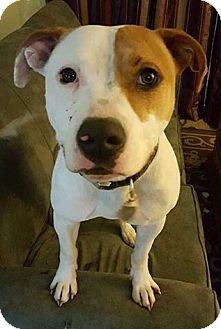 Terrier (Unknown Type, Medium) Mix Dog for adoption in Livonia, Michigan - Diesel
