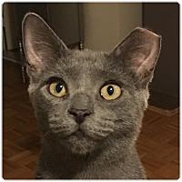 Adopt A Pet :: Shade - New  York City, NY