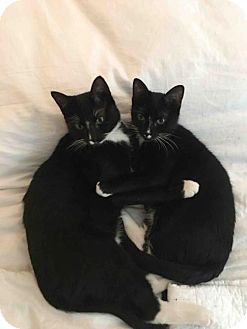 Domestic Shorthair Cat for adoption in Brooklyn, New York - Tig and Buster! Loving bonded brothers