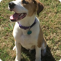 Adopt A Pet :: Lentil - East Hartford, CT