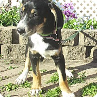 Adopt A Pet :: Gelya - West Chicago, IL