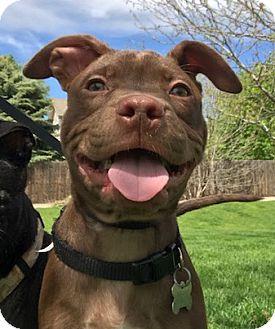 Labrador Retriever Mix Puppy for adoption in Fort Collins, Colorado - Bobby