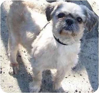 Shih Tzu Dog for adoption in Edmeston, New York - Oscar-NY