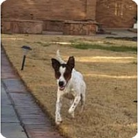 Adopt A Pet :: Stanley in Midland - Midland, TX