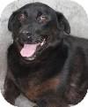 Shepherd (Unknown Type)/Labrador Retriever Mix Dog for adoption in Savannah, Missouri - Michelle