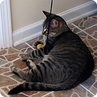Domestic Shorthair Cat for adoption in Grayslake, Illinois - Tiggie