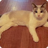 Adopt A Pet :: Rachel-Blue eyed sweety! - Arlington, VA