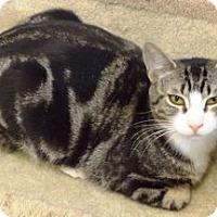 Domestic Shorthair Cat for adoption in Dunkirk, New York - Bing