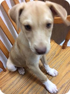 Shepherd (Unknown Type) Mix Puppy for adoption in Patterson, New York - Latte