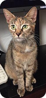 Domestic Shorthair Cat for adoption in Hampton, Virginia - Mishca