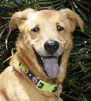 Labrador Retriever/Shepherd (Unknown Type) Mix Dog for adoption in Fort Lauderdale, Florida - Howey