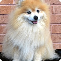 Adopt A Pet :: Mooch - Bridgeton, MO
