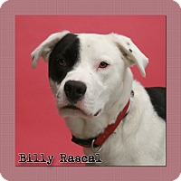 American Bulldog/Retriever (Unknown Type) Mix Dog for adoption in Aiken, South Carolina - Billy Rascal