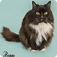 Domestic Longhair Cat for adoption in Washburn, Wisconsin - Beau