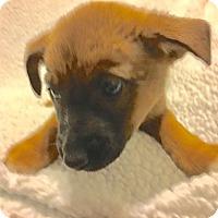 Adopt A Pet :: Little Bear - Sparta, NJ