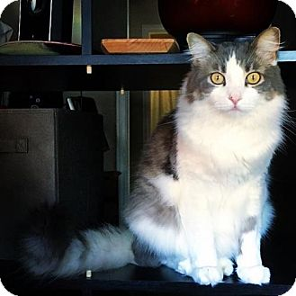 Maine Coon Cat for adoption in Mission Viejo, California - Utah
