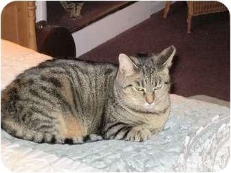 Domestic Shorthair Kitten for adoption in Warren, Ohio - Rosie