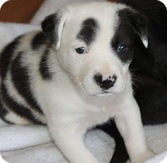 Flat-Coated Retriever/Labrador Retriever Mix Puppy for adoption in La Habra Heights, California - Jersey