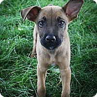 Adopt A Pet :: Voltaire - Broomfield, CO