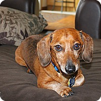 Adopt A Pet :: Fred - Louisville, CO