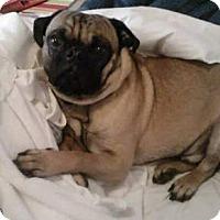 Adopt A Pet :: Yeager - Huntingdon Valley, PA