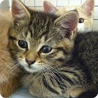 Adopt A Pet :: Kittens - Trevose, PA