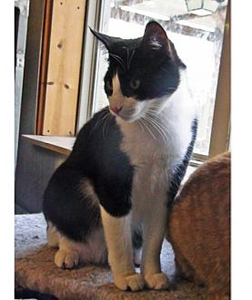 Domestic Shorthair Cat for adoption in Holly Springs, Mississippi - Sylvester