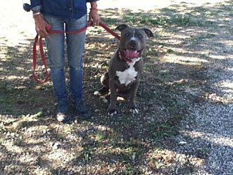 Pit Bull Terrier Dog for adoption in Santa Monica, California - Tiny 2