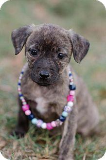 American Staffordshire Terrier/Terrier (Unknown Type, Medium) Mix Puppy for adoption in Seneca, South Carolina - Sheba $250