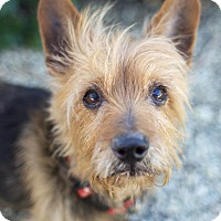 Adopt A Pet :: Louie - Canyon Country, CA
