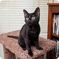 Domestic Shorthair Kitten for adoption in Statesville, North Carolina - Moira