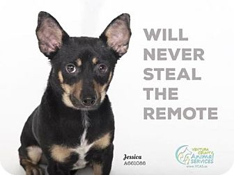 Chihuahua Dog for adoption in Camarillo, California - JESSICA