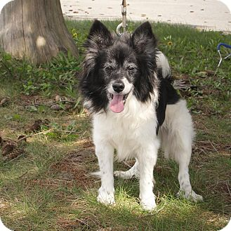 Papillon Dog for adoption in Anderson, Indiana - Carl