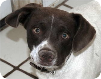 Jack Russell Terrier/German Shorthaired Pointer Mix Dog for adoption in Phoenix, Arizona - Toby