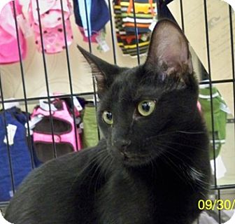 Domestic Shorthair Cat for adoption in Sacramento, California - Jinx V