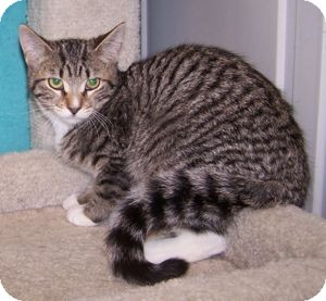 Domestic Shorthair Kitten for adoption in Colorado Springs, Colorado - K-Emery1-Miranda