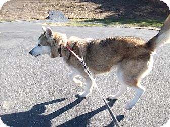 Alaskan Malamute/Siberian Husky Mix Dog for adoption in Augusta County, Virginia - Mya