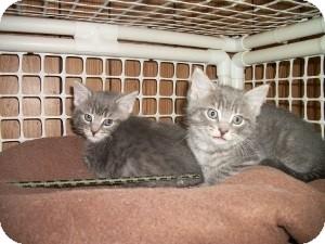 American Shorthair Kitten for adoption in Santa Monica, California - Sasha