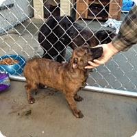 Adopt A Pet :: Rosie - Seattle, WA