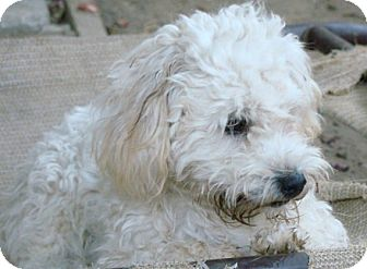 Poodle (Miniature)/Havanese Mix Puppy for adoption in cupertino, California - Bunnie