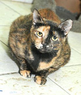 Domestic Shorthair Cat for adoption in St John, Virgin Islands - Cleo