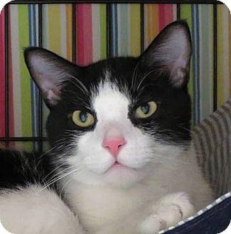 Domestic Shorthair Cat for adoption in Norwalk, Connecticut - Letterman