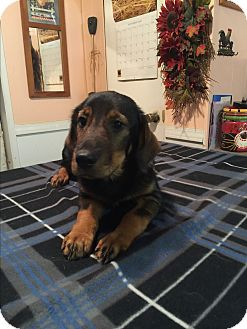 Basset Hound/Dachshund Mix Puppy for adoption in Kittery, Maine - Amelia