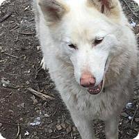 Siberian Husky Mix Dog for adoption in Shingleton, Michigan - Polar