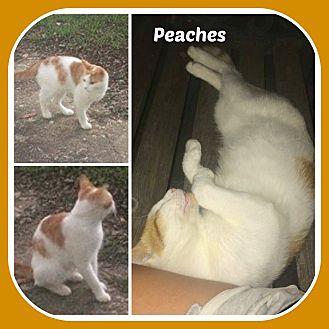 American Shorthair Cat for adoption in Malvern, Arkansas - PEACHES