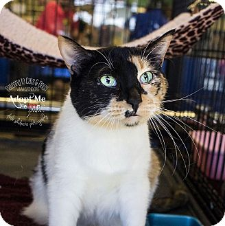 Calico Cat for adoption in Charlotte, North Carolina - A..  Daphne