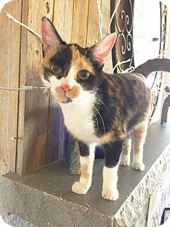 Domestic Shorthair Kitten for adoption in Arlington/Ft Worth, Texas - Gypsy Rose