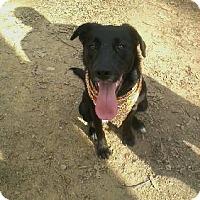 Labrador Retriever/Hound (Unknown Type) Mix Dog for adoption in Denver, North Carolina - Daphne